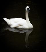 17th May 2020 - Reflected Swan