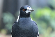 16th May 2020 - Australian magpie