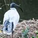 White Ibis Mt Cootha Botanical Gardens