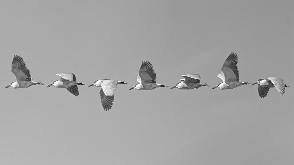 Black Crown Night Heron in flight by mikegifford