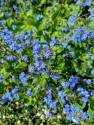 19th May 2020 - Forget me not