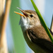 Reedwarbler by stevejacob