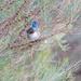 Splendid Fairy Wren by glendamg