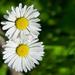 Tiny Daisies DSC_3015