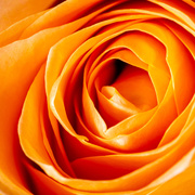 10th May 2020 - The Beauty of a Rose