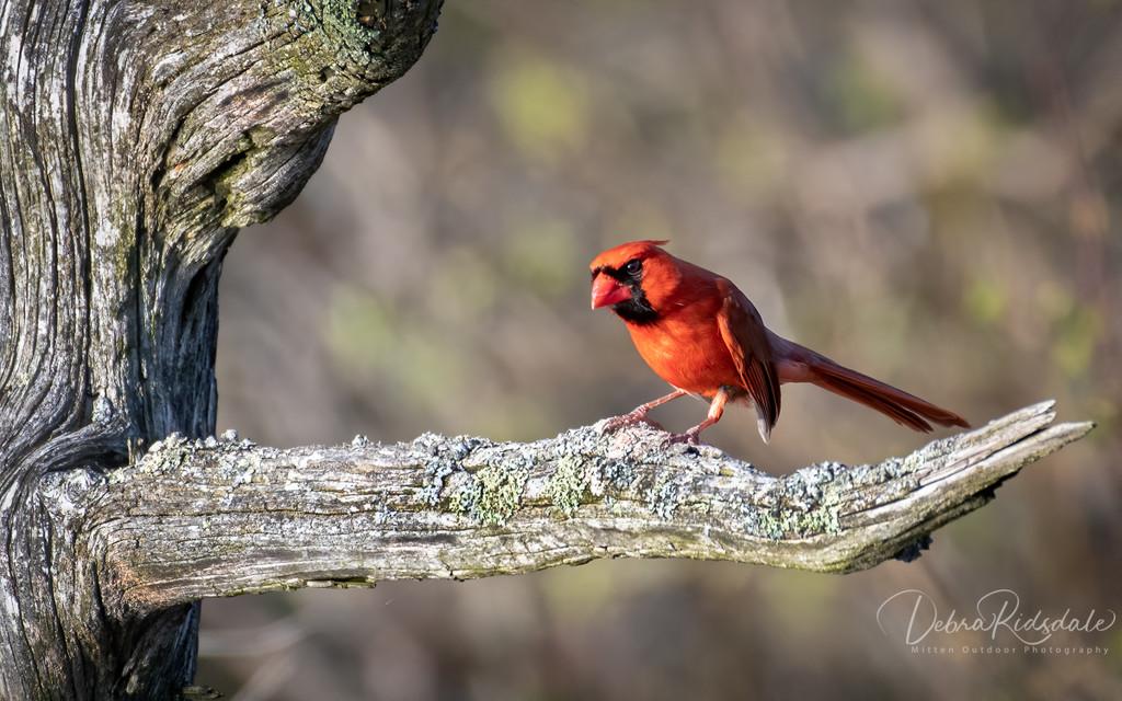 Male Cardinal (aka Angry Bird) by dridsdale