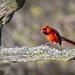 Male Cardinal (aka Angry Bird)