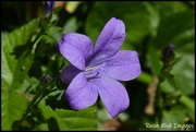 18th May 2020 - RK3_6147 Flower in my rockery