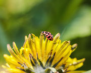 16th May 2020 - ladybug