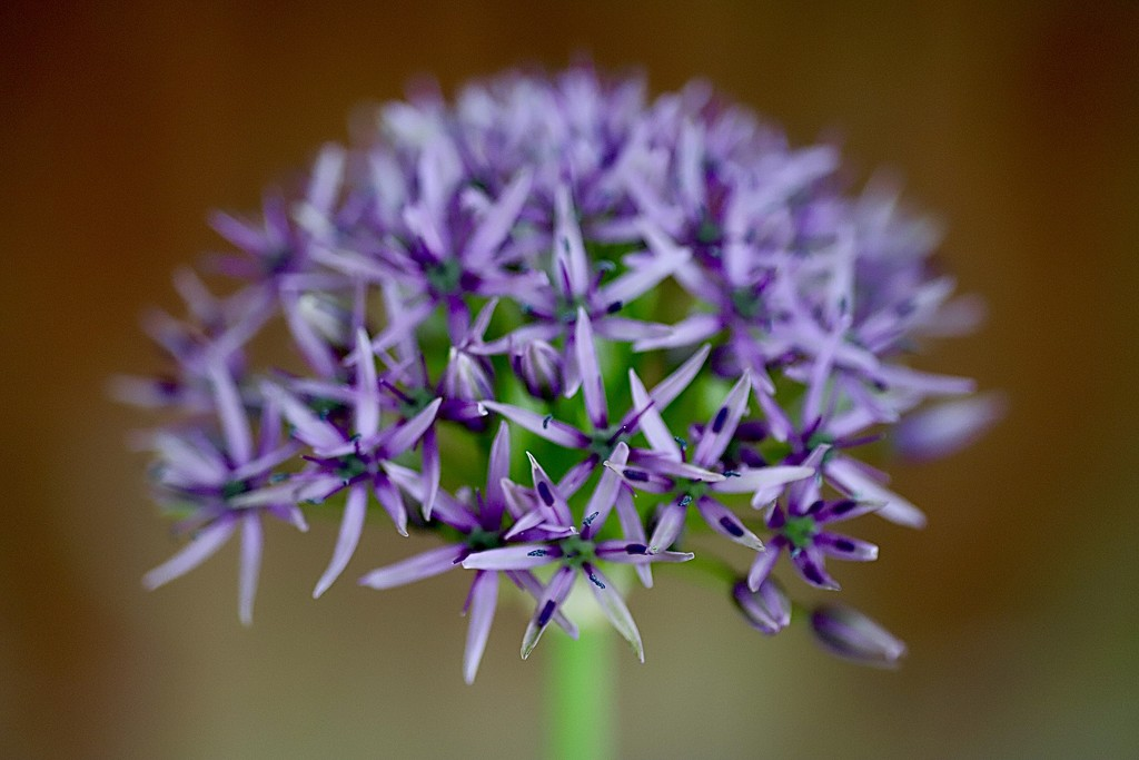 A Different Allium  by carole_sandford