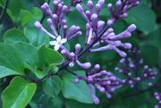 14th May 2020 - Lilac