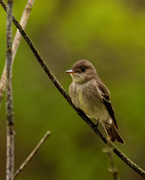 18th May 2020 - eastern wood pewee