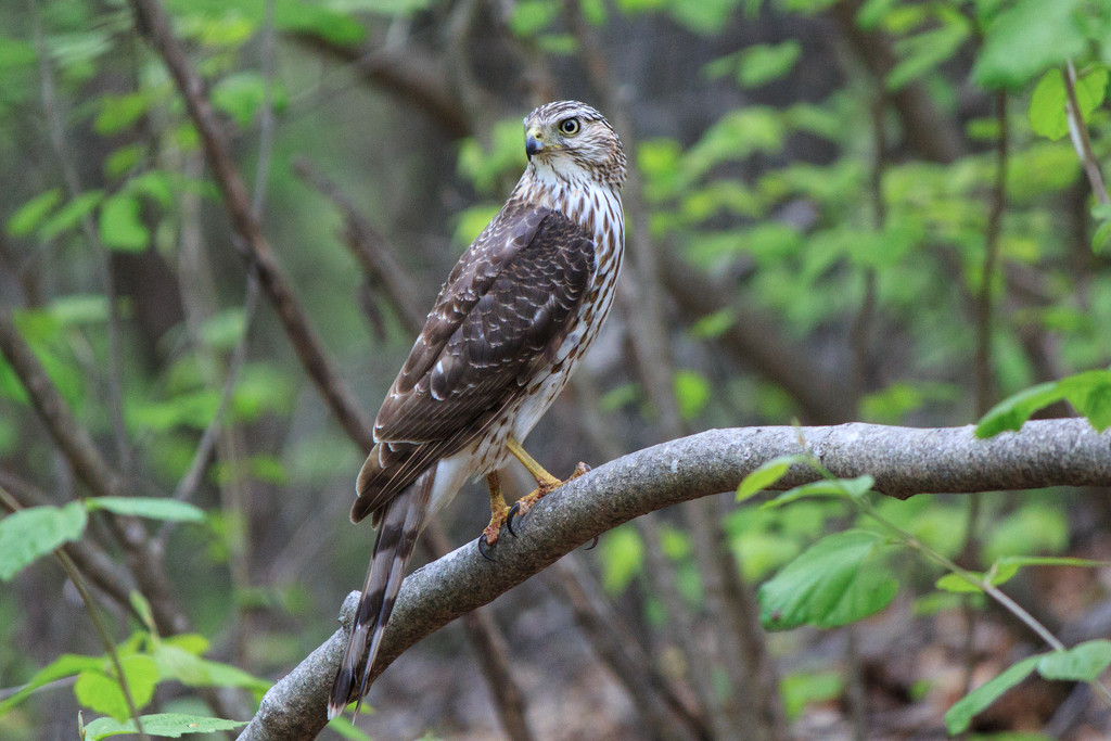 A young hawk, seen on today's hike. by batfish