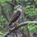 A young hawk, seen on today's hike.