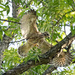 Red-Shouldered Hawk (not quite flying)