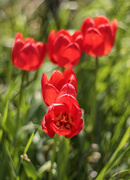17th May 2020 - tulips