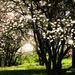 Magnolia Flowering Splendour ...