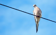 18th May 2020 - Perched on a High Wire