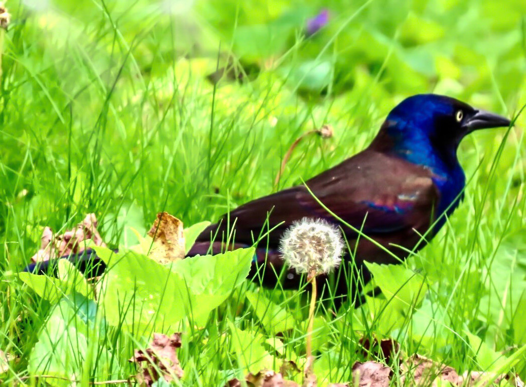 Grackle in the Grass by mzzhope