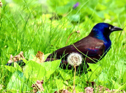 18th May 2020 - Grackle in the Grass