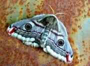 19th May 2020 - Emperor moth female