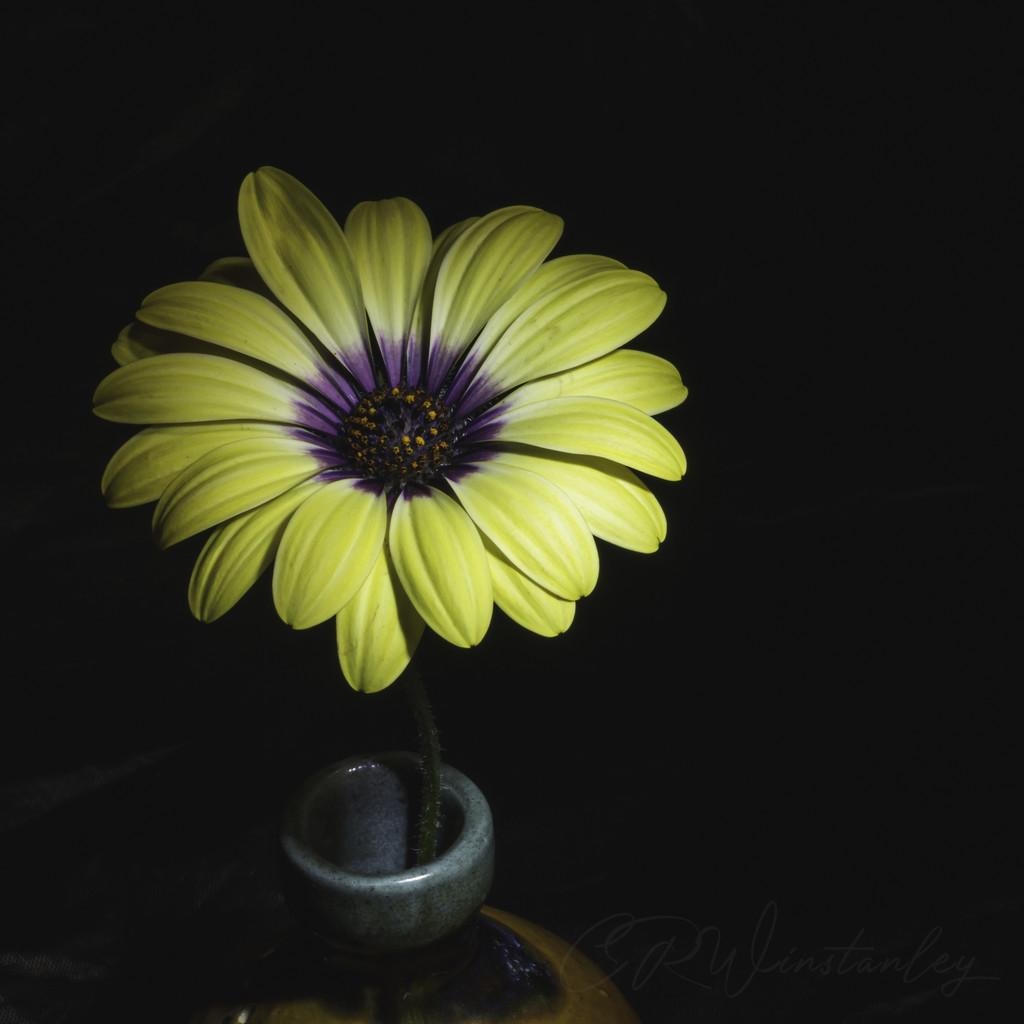 Daisy by kipper1951
