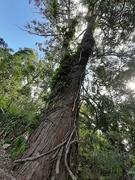 19th May 2020 - Big Tree