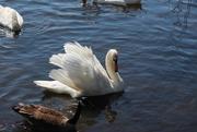 19th May 2020 - Swan