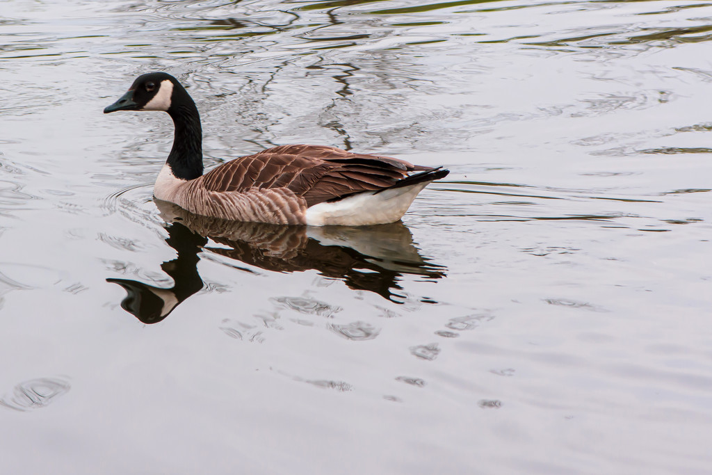 The Goose by farmreporter