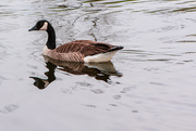 15th May 2020 - The Goose