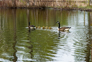 17th May 2020 - Eight Geese A-Swimming