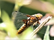 18th May 2020 - Female Scarce Chaser