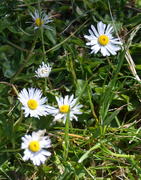 19th May 2020 - Daisies in the Lawn