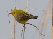 19th May 2020 - yellow warbler