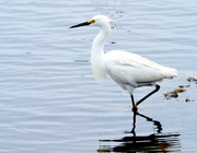 19th May 2020 - Egret on the Run