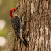 Male, Red-bellied Woodpecker! by rickster549