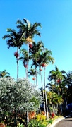 20th May 2020 - Piccabeen  Palms around our swimming pool as seen through my dinning room window