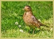 20th May 2020 - Mummy Blackbird