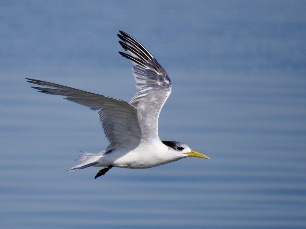 Tern Fly By P5200325 by merrelyn