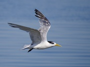 20th May 2020 - Tern Fly By P5200325