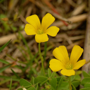20th May 2020 - Slender Yellow Wood Sorrel