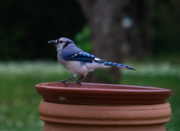 20th May 2020 - The Bluejay