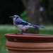 The Bluejay