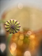 21st May 2020 - Poppy capsule and golden bokeh.