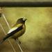 Evening Grosbeak by jgpittenger