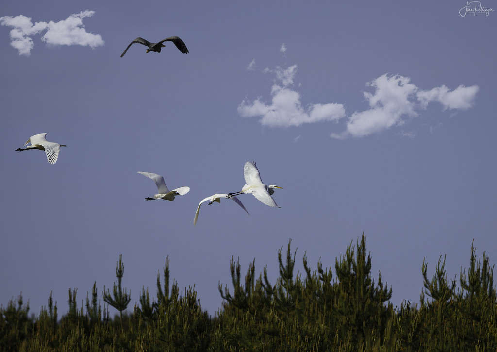 Four Egrets and One Blue Heron  by jgpittenger