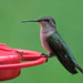 Ruby Throuted Hummingbird
