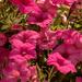 Petunia Flowers, I Think!