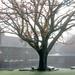 Oak tree misty morning