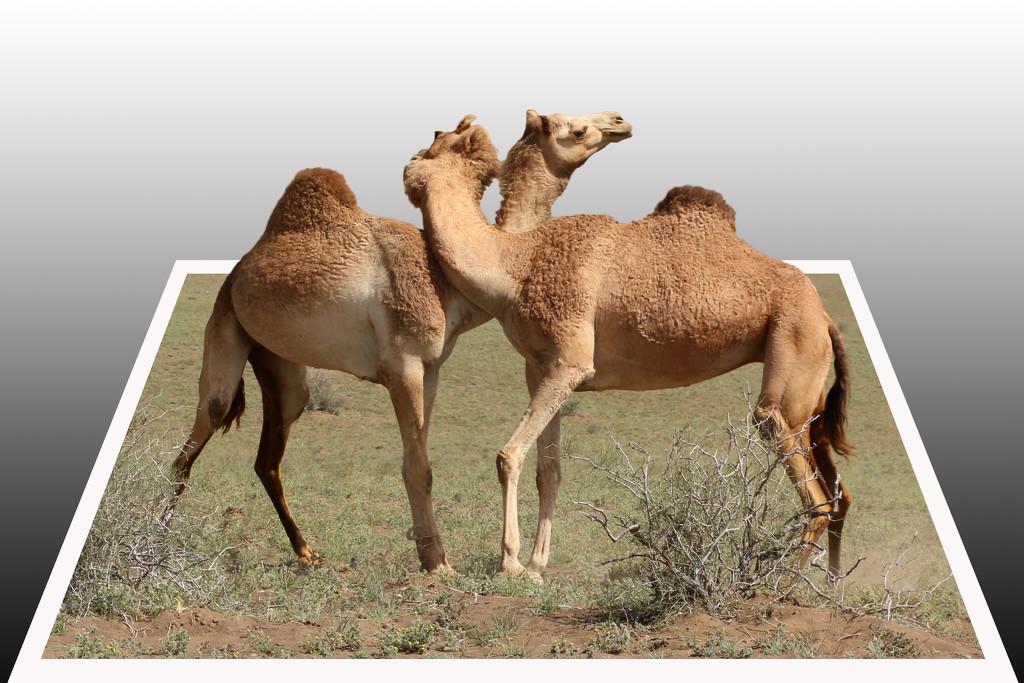 3D Camels by ingrid01